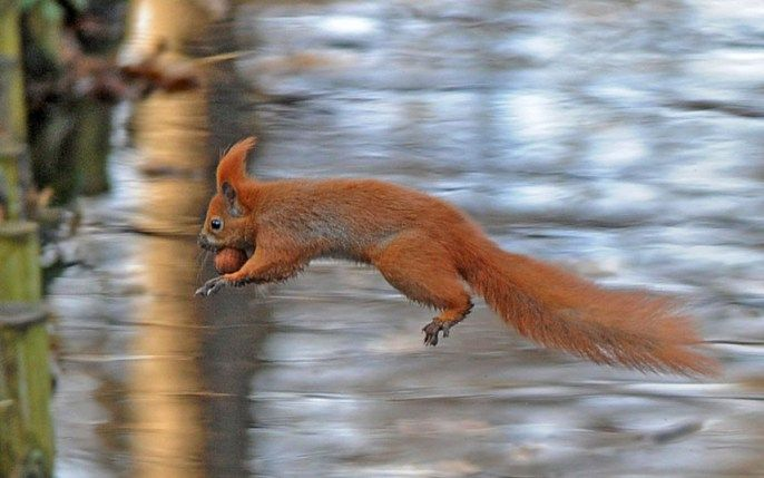 A red squirrel jumps over a brook on a sunny day in Lazienki park in Warsaw, Poland Picture: Alik Keplicz/AP