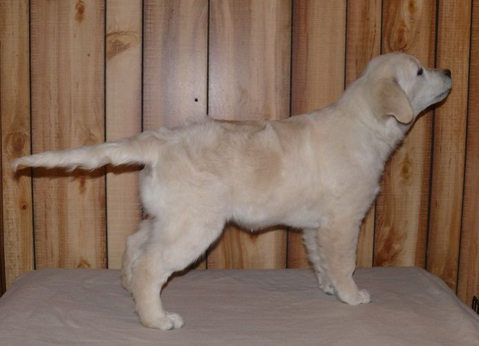 """""""Lilly"""" 17 weeks old English Golden Retriever puppy"""