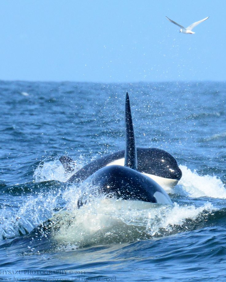 Open ocean Orcas travel for miles...