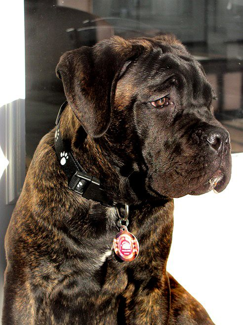 old world cane corso...This is what my Little Missy will look like!!