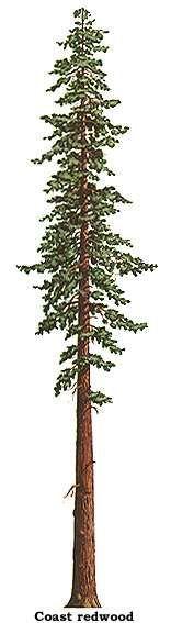 sequoia sempervirens silhouette - Google Search