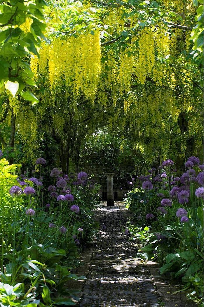 Barnsley House Gardens; Laburnum and Allium. Mark Bolton Photographer