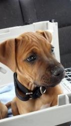 Shockwave is an adoptable Boxer Dog in Redmond, WA. Name: Shockwave Age/Gender: Baby (born 2/2/13), Male Breed: Boxer/Pitbull Terrier mix Temperament: Playful and mischievous Weight: 7lbs and gr...