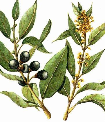 Recette mal de gorge de Marie T : Tea Tree, Laurier, raventzara : 3g de chaque sur un sucre, 4/jour dès les premiers symptômes (fiche bibliothèque technique huile essentielle de Laurier Noble - Laurus nobilis)