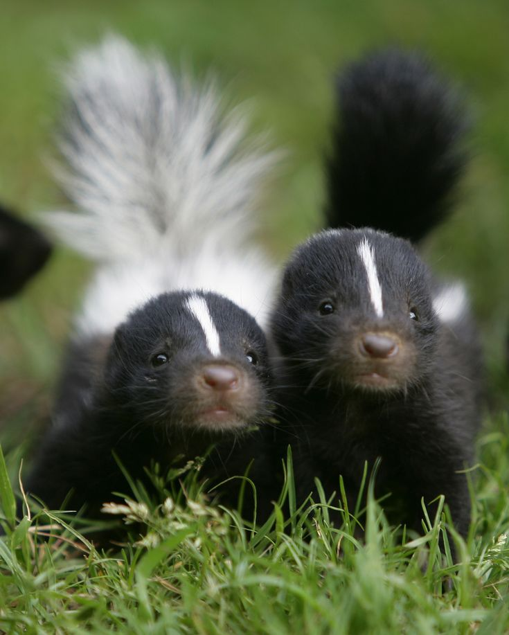 baby skunks, by In Cherl Kim
