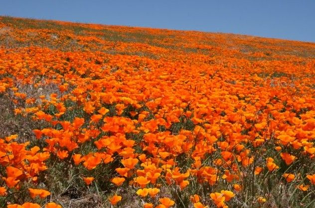 Reminds me of going CA to AZ with the College & Career group!: California Poppies, Colleges, Poppies Eschscholzia, Food Facts, Super Foods, Plants, Poppies Seeds, Matte Toronto