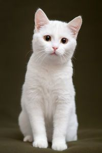 This lovely white #kitten has gold eyes