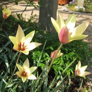 Tulipa clusiana var. Cynthia チューリップ クルシアナシンシア http://berryslife.com