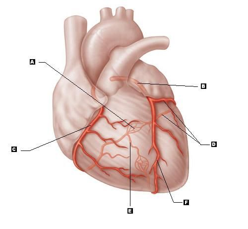 blank pain diagram 5 major coronary arteries print options coronary  5 major coronary arteries print options coronary
