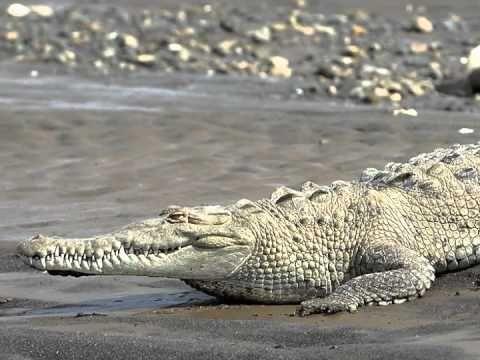 Kinderliedje met beeld: De krokodil ligt in het water - YouTube