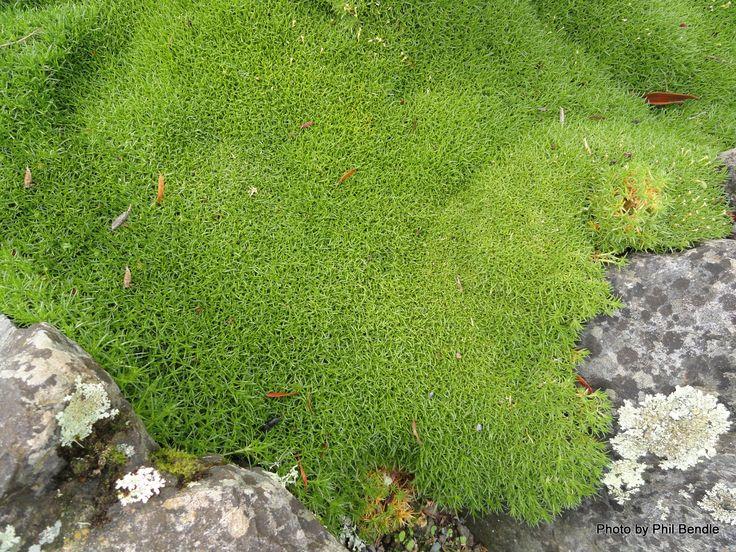 T.E.R:R.A.I.N - Cushion Plant (Scleranthus biflorus)