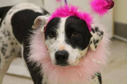 NAME: Harriet  ANIMAL ID: 24851230  BREED: Dalmatian mix  SEX: female (spayed)  EST. AGE: 4 yr  Est Weight: 50 lbs  Health: heartworm pos  Temperament: dog friendly, people friendly.  ADDITIONAL INFO: RESCUE PULL FEE: $49  Intake Date: 1/27  Available: Now