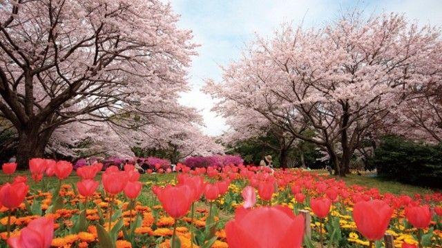 桜×チューリップがキレイ♪ 大分の「別府公園」でお花見 - LINE NEWS