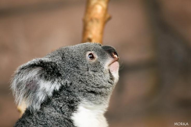 Koala, Zoo de Beauval, 2012-08-16