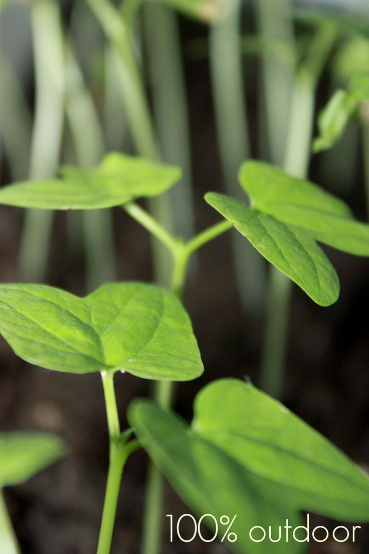 Mustasilmäsusannan kasvattaminen on hauskaa puuhaa. Pikkuruisesta siemenestä ponnistaa parimetrinen köynnös. http://100outdoor.blogspot.fi www.hakurodesign.fi