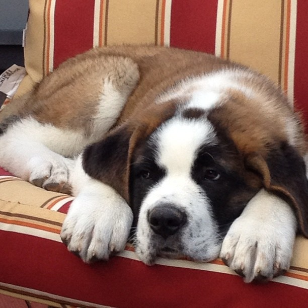 Boo, Saint Bernard pup, at 9 weeks
