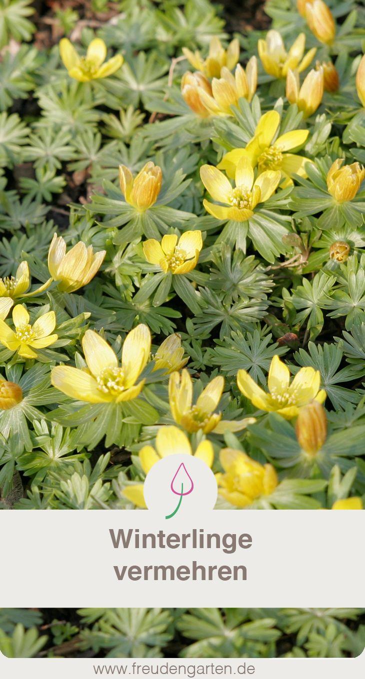 Winterlinge vermehren durch Aussaat oder Teilung #Garten #Frühling #Frühjahresblüher #Winterlingee