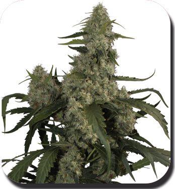 Quasar - Feminised Cannabis Seeds