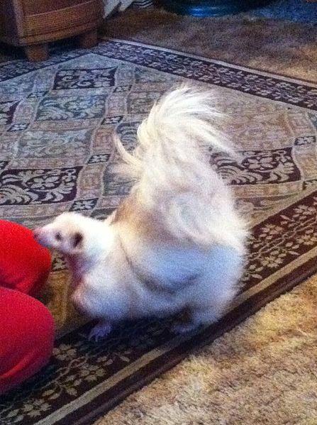 Siamese White Skunk