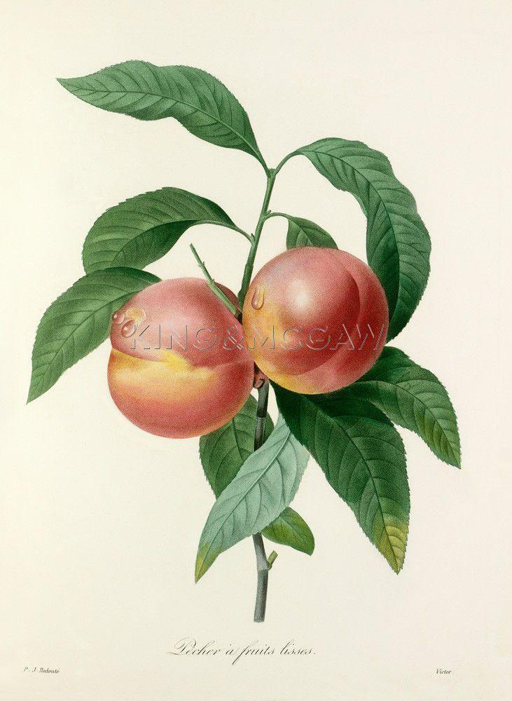 Pêcher à fruits lisses Art Print by Pierre Joseph Celestin Redouté at King & McGaw   Pierre-Joseph Redouté #botanical #illustration #peach