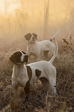 Bandit and Magnum - bird dogs