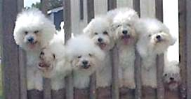 Hello Bichons - Bichon Frise Dogs -  by Karil Broadway  lots of lap time