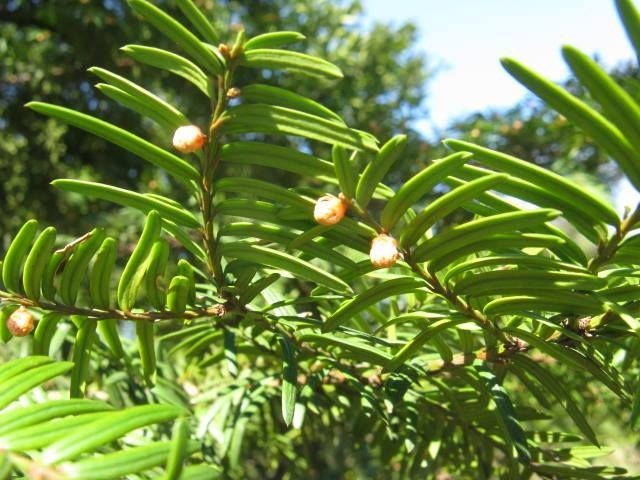 12月21日の誕生日の木は「イチイ(一位)」です。  イチイ科イチイ属。常緑針葉樹。北海道、本州、四国、九州、アジア東北部、シベリア東部の亜高山帯や寒冷地に広く分布します。 名前の由来は、仁徳天皇の時代、飛騨位山(くらいやま)に産するこの木から高官の用いる笏(しゃく)を作り、その美しさと質の高さに、朝廷から一番高い位階である「正一位」を与えられたことにあるといいます。現代でも笏はイチイで作られます。別名は「笏の木(しゃくのき)」。地方名もあり、関東・中部地方では「アララギ」、新潟と東北地方では「オッコ」、北海道・東北地方では「オンコ」、アイヌ語では「クネニ(弓になる木:特に弓の材料として用いたため)」などと呼ばれます。 樹高は10m~20m。直径は50cm~1m。樹形は円柱形で、樹皮は赤みの強い褐色で細めに浅く縦に裂けます。成長が遅いので、大きな個体は珍しいそうです。秋には多肉質の球果が鮮紅色に熟します。人間が食べても甘くて美味しい実は、野鳥にも好んで食され、種子が散布されます。