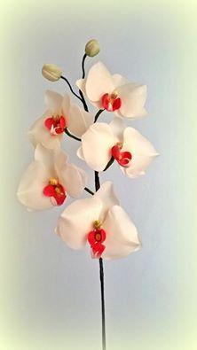 Pillangó orchides