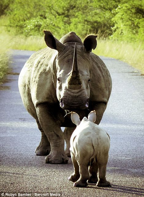 Im not going to tell you again... It almost appears as if this mummy rhino is giving her child a ticking off