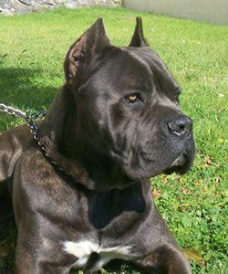 Phantom Cane Corso - Beautiful dog!