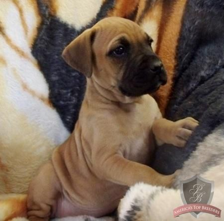 My dream puppy! Boxer Mastiff mix!