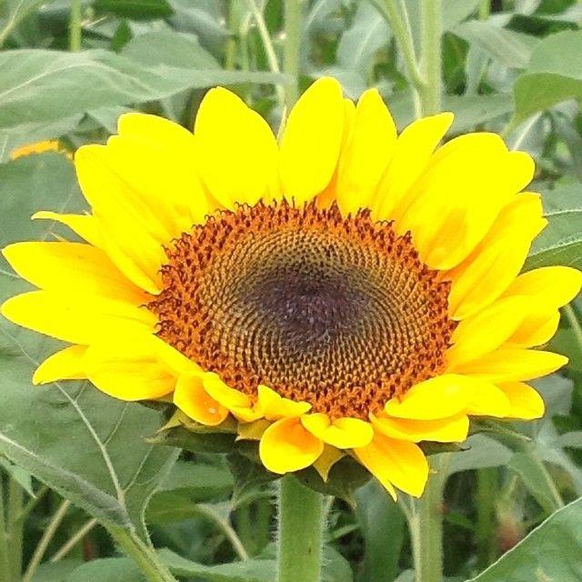 Blooming Sunflower delight! #ilovemygarden #gardenchat #sharethebounty #joy #mossmountainfarm #sunflowers #summer