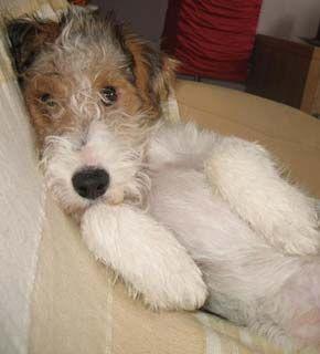 Raça Fox Terrier