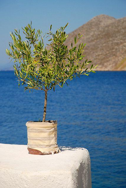 A Greek Postcard - olive tree against the Aegean Sea, Symi, Greece