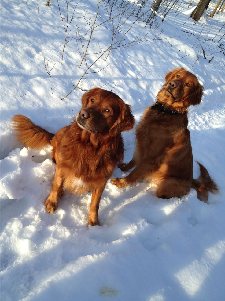 Red golden retrievers Sir Zomarick Dudley (Dude) and Sir