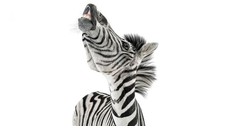 Скачать обои зебра, zebra, морда, зубы, фон, раздел в разрешении 1600x900
