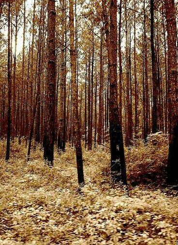 Caddo Parish Pines