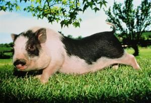 Vietnamese pot belly pig (Sus sp.) in field, close-up, Missouri, USA - Mother Daughter Press/The Image Bank/Getty Images