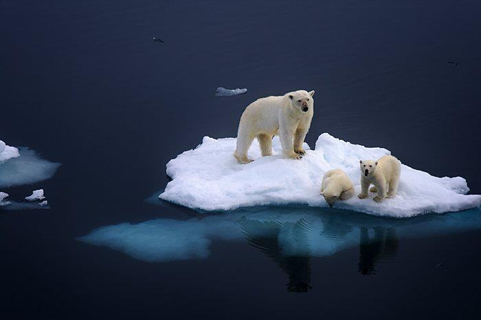 Polar bears. The ice shelfs are dwindling. They need our help.