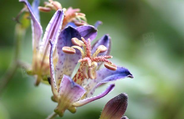 Bild von Tricyrtis hirta 'Taiwan Adbane' – Japanische Krötenlilie, Japan-Krötenlilie, Tigerstern, Borstige Krötenlilie, Rauhaarige Krötenlilie