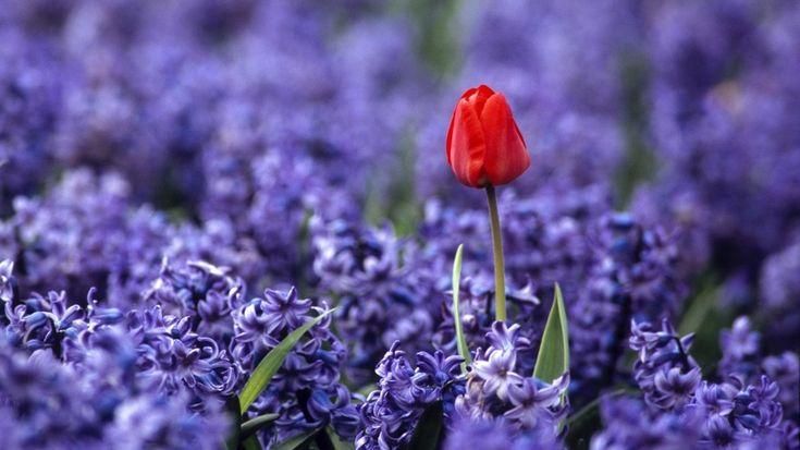 природа, красный, весна, тюльпан, синие, цветы, макро, поляна, поле