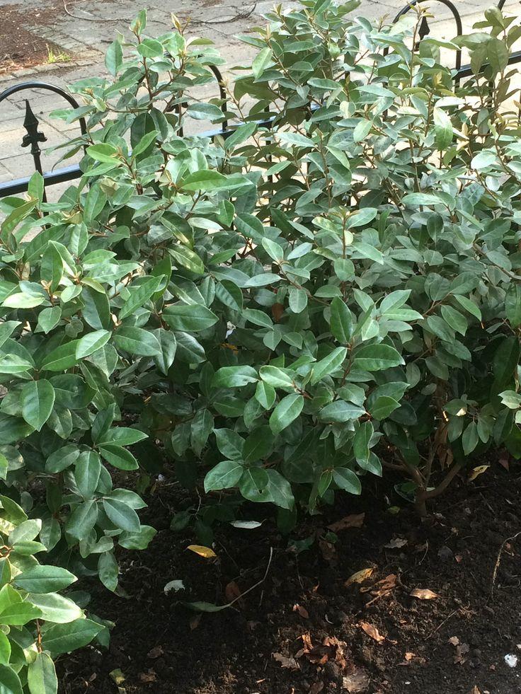 olijfwilg. schitterend #grijsgroenblad#hitte en droogte verdragend#wintergroen