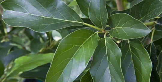Benefici delle foglie di avocado | Rimedio Naturale
