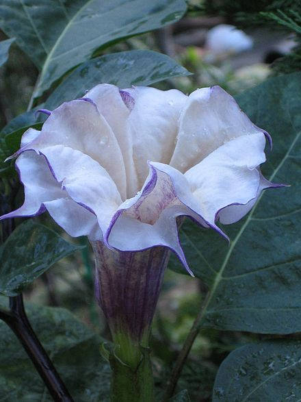 88 best night blooming flowers images on pinterest white gardens datura night blooming flower mightylinksfo
