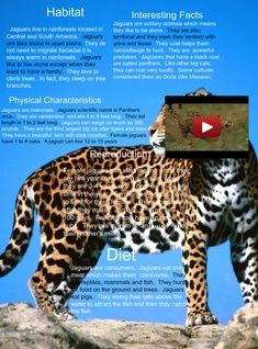 The jaguar is a big cat, a feline in the Panthera genus, and is the only extant Panthera species native to the Americas.  #glogster #glogpedia #jaguars