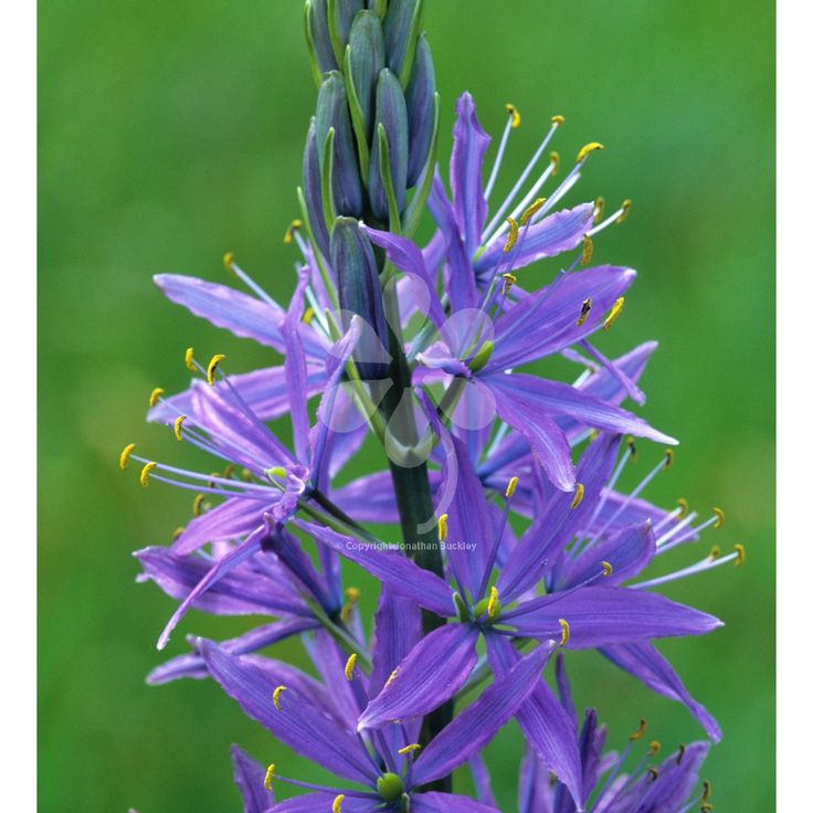 Camassia quamash is a vivid blue, with tall, bold flowers that will naturalise in grass and is even happy in moist ground. One of the most tolerant and long-lived bulbs you can grow.
