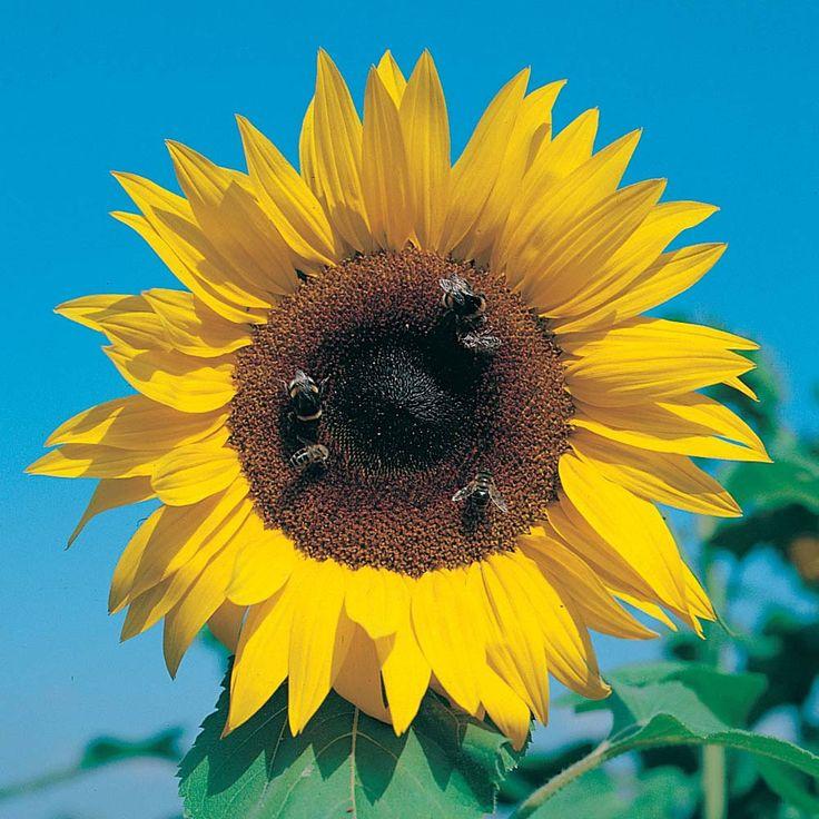 Wilko Flower Garden Giant Single Sunflower party bags