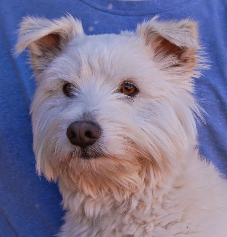 Wolfy, is a Tibetan Terrier & Miniature Schnauzer Mixed