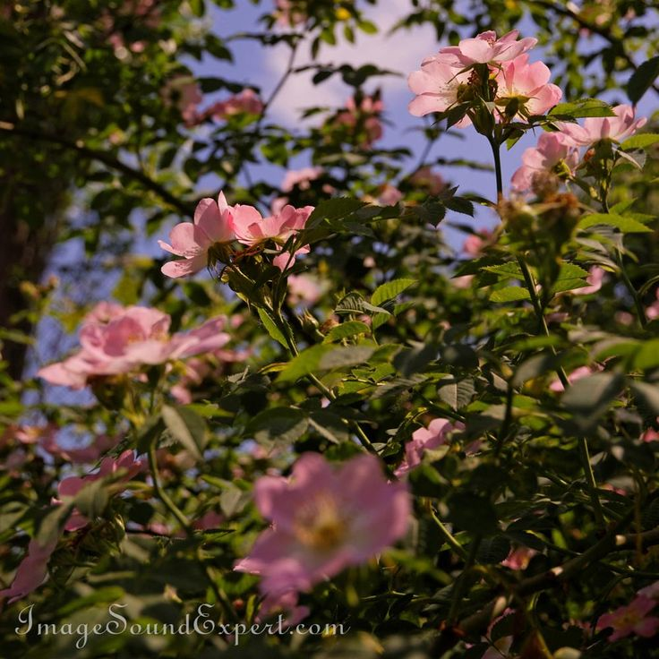 wild rose flowers by image sound expert
