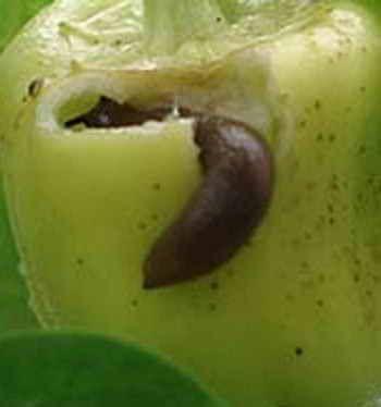 Борьба со слизнями в саду и огороде | Дача - впрок